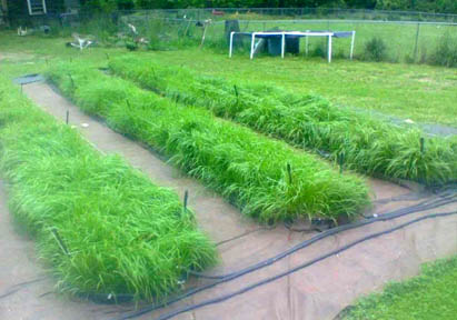 sweetgrass plants